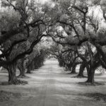 AVENUE OF OAKS