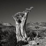 DESERT ROSE (MOMI)