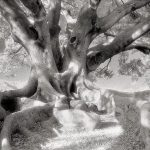 THE MORTON BAY FIG