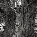 THE NANTGLYN PULPIT YEW